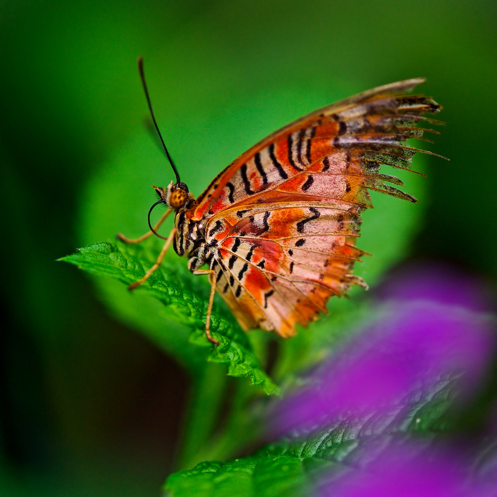 """""""Old but nice butterfly on the leaf"""" by Tambako the Jaguar is licensed under CC BY-ND 2.0 CC BYND"""